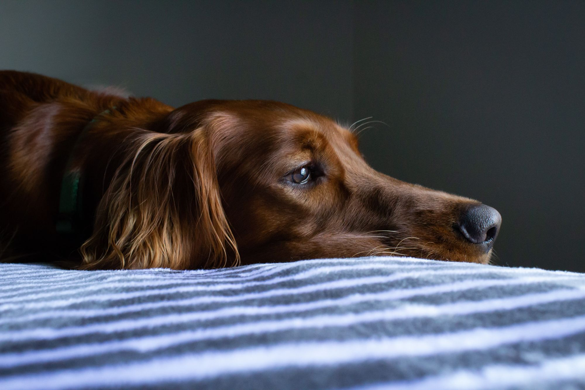 A sad-looking dog lies on a bed looking out the window
